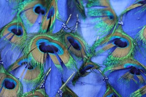 Peacock Feathers on Blue Silk Chiffon